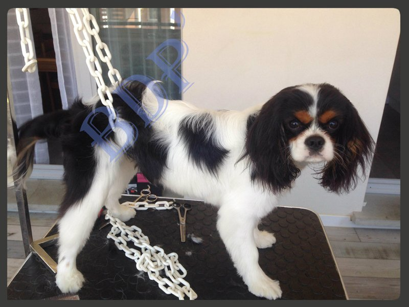 Cavalier King Charles   BDP' Toilettage