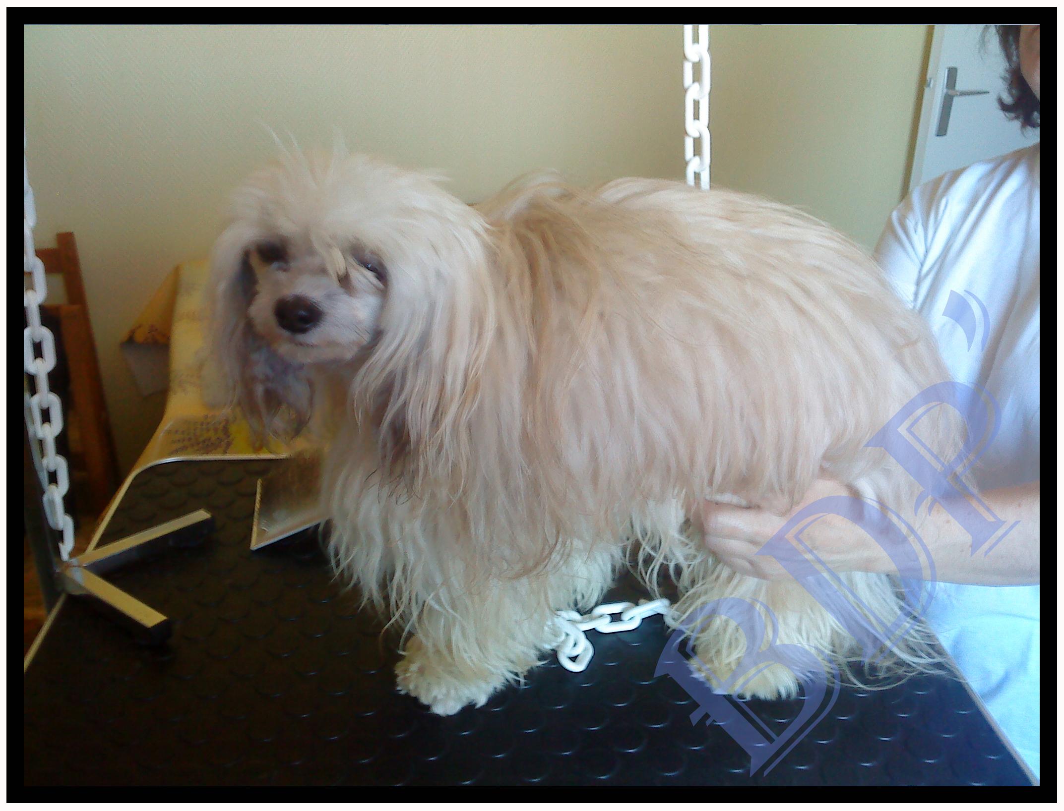 benji-avant-4 (chien chinois Houpette à Poudre)
