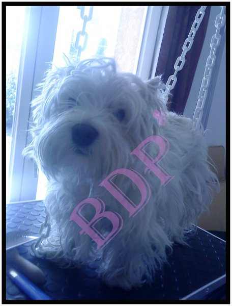 buggy-avant épilation (Westie/West Highland white terrier)