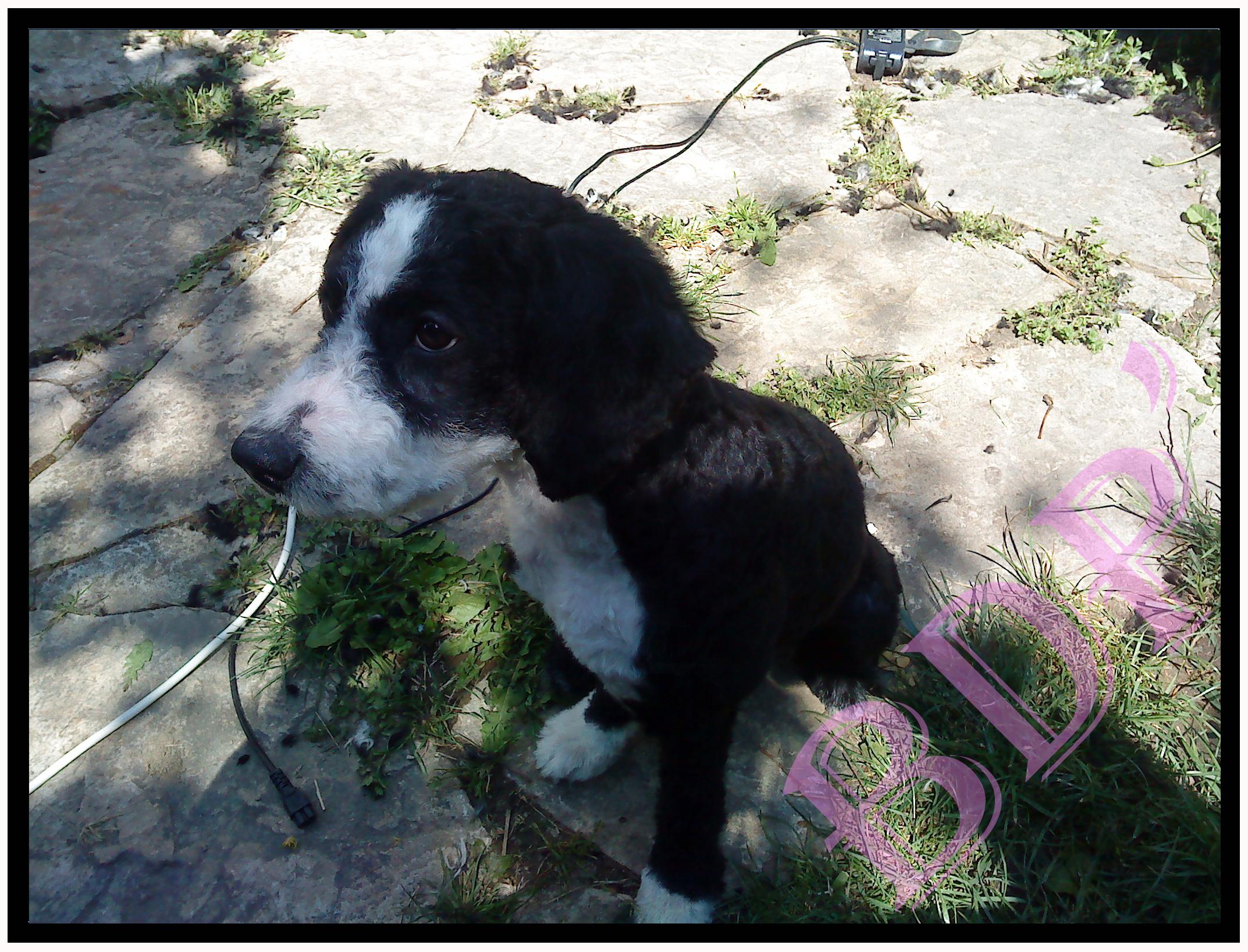 etna-apres (Barbet, 4 mois 1/2)