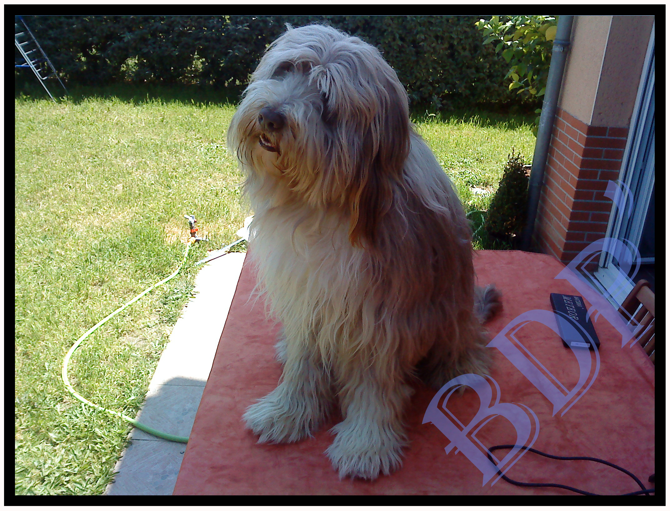 jazz-avant (Bearded Collie)