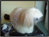 benji-apres-2 (chien chinois Houpette à Poudre)
